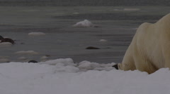 Slow motion - two polar bears with snowy noses on arctic beach Stock Footage