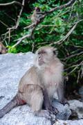 Female Macaca fascicularis sitting on a rock. Monkey beach, Thailand Stock Photos