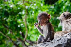 Cub Macaca fascicularis sitting on a rock and eat. Baby monkeys on the Phi Ph Stock Photos