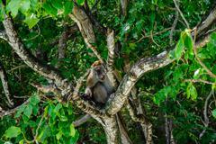 Macaque sitting on a mangrove tree. Macaca fascicularis Stock Photos