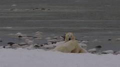 Slow motion - polar bears wrestle hard on snowy beach Stock Footage