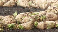 Harvested sugar beet Stock Footage