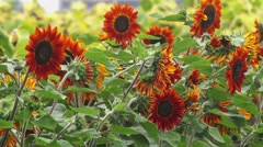 Red sunflowers blooming Stock Footage