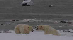 Slow motion - Polar bears on frozen beach shake and rest Stock Footage