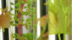 Oenology, young vine shoots in test tubes, Research Laboratory Stock Footage