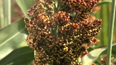 Cultivated sorghum field Stock Footage