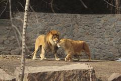 Lion and lioness show their tender feeling standing next to each other in the av Stock Photos