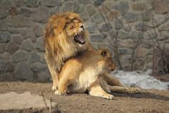 Lion sits on her lioness and growling while she turned Stock Photos