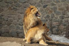 Lion roars sitting on the lioness during mating season Kuvituskuvat