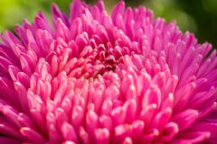 Aster Flower Macro Stock Photos