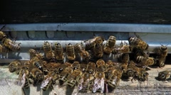 Bees collect honey Stock Footage