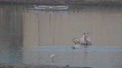 Dalmatian Pelican in Ranmal Lake,Jamnagar,India Stock Footage