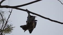 Bat hanging in tree at Ranmal lake,Jamnagar,India Stock Footage
