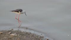 Black winged stilt bird in Ranmal Lake,Jamnagar,India Stock Footage