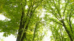 Tops of huge beautiful chestnut trees with sunlight through green leaves Stock Footage