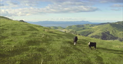 Aerial of farm land and cattle in the Coromandel, New Zealand Stock Footage