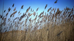 The dry cane waves on a background of the blue sky Stock Footage