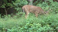 Deer in the woods Stock Footage