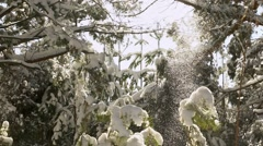 Winter forest. Firs in the snow. Snow falls from the tree tops Stock Footage