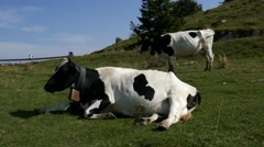 Mt Grappa - Black and white cows Stock Footage