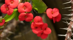 Euphorbia milii (crown of thorns, Christ plant) Stock Footage