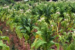Tobacco field Stock Photos