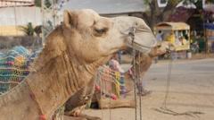 Camel head waiting for tourist ride,Pushkar,India Stock Footage