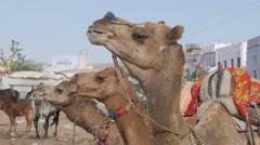 Ruminating head of camels,Pushkar,India Stock Footage