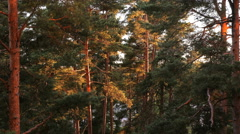 Sunrise in a pine forest. The sun illuminates the tree trunks. Time Lapse. Stock Footage