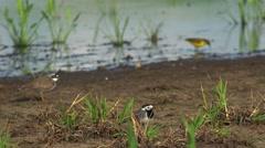 White wagtail (motacilla alba) and yellow wagtail (motacilla flava).Ultra hd 4k Stock Footage