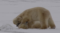 Slow motion - polar bears wrestle on snowy ice on cloudy day Stock Footage