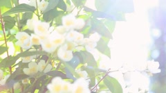 Close up of green bush with fresh white flowers Stock Footage