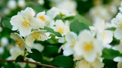 Close up of green bush with fresh white flowers. Stock Footage