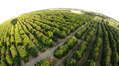 Flying Over Orange Groves Stock Footage
