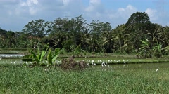 Group of white herons in rice field Stock Footage