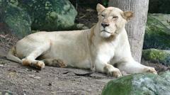 Female lion resting near tree Stock Footage
