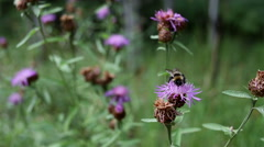 Bumblebee collects nectar from flower on a sunny day Stock Footage