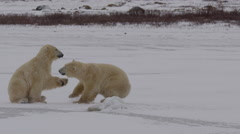 Slow motion - polar bears stand and spar in the falling snow on ice Stock Footage