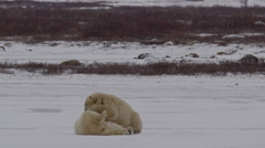 Slow motion - snow falling on wrestling polar bears on ice Stock Footage