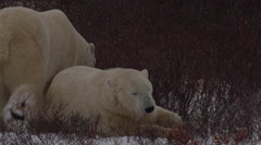 Two polar bears resting and walking in snowy willows Stock Footage