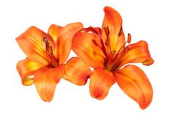 Two Isolated Bright Orange Asian Lily Flowers on White Stock Photos