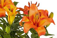 Vivid Orange Asian Lilies and Buds on Green Stems Stock Photos
