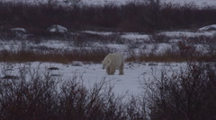 Polar bear walks towards camera across frozen snowy pond Stock Footage