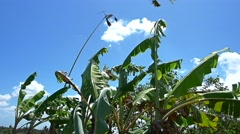 Banana tree leafs moving with the wind and bamboo bird scarer Stock Footage