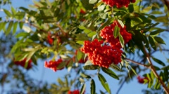 Rowan berries, Mountain ash tree with ripe berry Stock Footage
