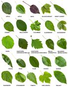 Set of green leaves of trees and shrubs with names Stock Photos