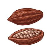 Fruits of cocoa beans. Stock Illustration