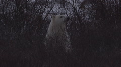 Polar bear looks out from willows wearily and then walks in other way Stock Footage