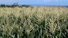 Corn field moving with the wind and ocean in the background Stock Footage