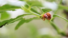 Orange ladybugs mating on green leaves in the garden, closeup Stock Footage